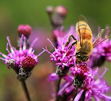 Bee on Ironweed by Rachel Leigh