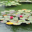 Sweet Pink Water Lilies and Buds by BlueMoonRose