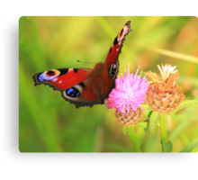 Peacock Butterfly on Knapweed, Manfield Scar,River Tees, UK. Canvas Print