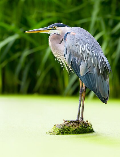 Great Blue Heron by (Tallow) Dave  Van de Laar