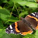 Vanessa atalanta_Red Admiral by SophiaDeLuna