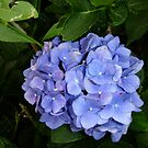 Blue hydrangea by machka