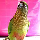 The Washing Is All Done Mum....Bubbles - Maroon-Bellied Conure - NZ by AndreaEL