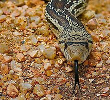Say Ahhh - Sonoran Desert Gopher Snake by Ron Wright