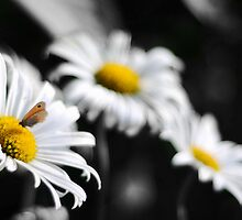 Butterfly over a composition of Daisies by Francesco Malpensi