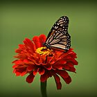 Butterfly on Zinnia by Sandy Keeton
