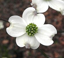 Dogwood Blossom by bannercgtl10
