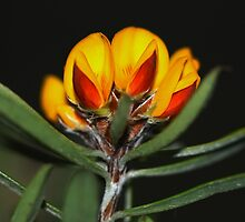 Pultenaea paleacea by andrachne