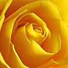 Yellow rose by IngeHG