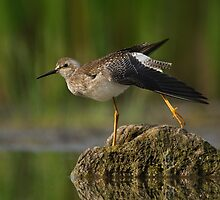 Another Stretching Lesser Yellowlegs. by Daniel Cadieux