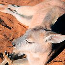 an afternoon roo nap by nicole makarenco