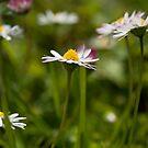 Lawn Daisies by Skye Hohmann