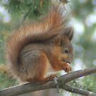 Red Squirel by webbo