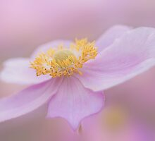 Japanese Anemone by imagejournal