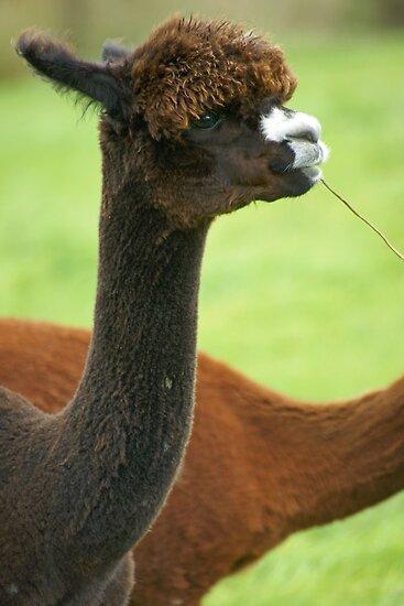 Alpaca by LorrieBee