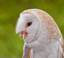 Barn Owl Portrait by M.S. Photography & Art