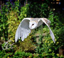 Barn owl by Mike Higgins