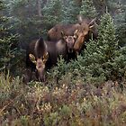 Moose Family by Tim Grams