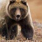 Grizzly Bear- Eye to Eye by Tim Grams