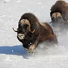 Running of the Bulls- Musk Ox Style by Tim Grams