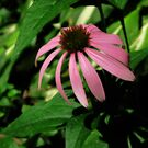 Pennsylvania Coneflower - For Sandy by teresa731