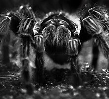 Tarantula by eclectic1