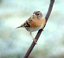 Brambling  by M.S. Photography/Art