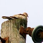 Dove on utility post by kentuckashee