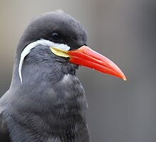 Inca Tern by Lorna Mulligan