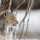 Profile of a Lynx by Tim Grams