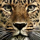 Amur Leopard Collection by Mark Hughes