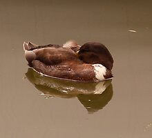 sleeping duck by deblee76