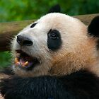 Panda, China. by bulljup