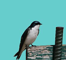 Tree Swallow by Larry Trupp