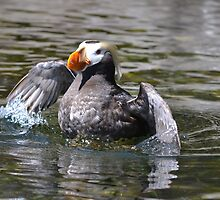 Tufted puffin showing off by Kate Farkas