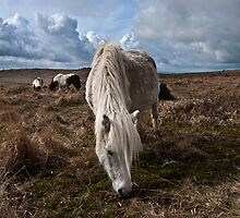 Ponies grazing the moor by Rob Hawkins