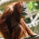 Why is this orangutan smiling? by Doty