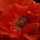 Poppy Ruffles by Ann Garrett