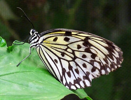 Rice Paper Butterfly by Lynn Bolt