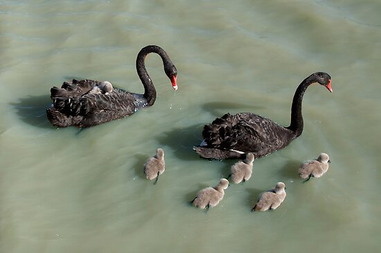 The Swan family on Laurimar Lake by Pauline Tims