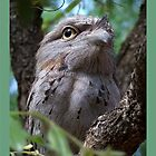 Tawny Frog-Mouth Owl by jono johnson