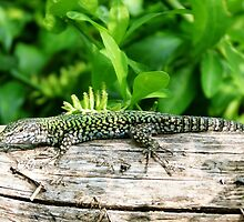 Italian Wall Lizard, Podarcis sicula cetti by Trish Meyer