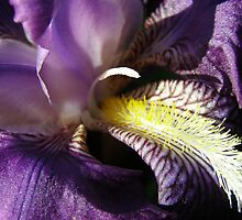 Rich purple Bearded Iris, furry tongue, stamen & pollen. by Rita Blom