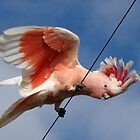 Major Mitchell&#x27;s Cockatoo (Pink Cockatoo) ~ The Entertainer by Robert Elliott