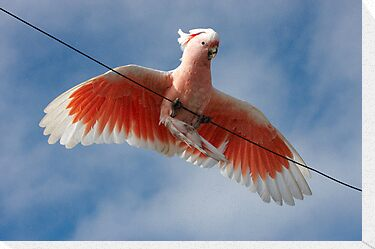 Major Mitchell&#x27;s Cockatoo (Pink Cockatoo) ~ Circus Act by Robert Elliott