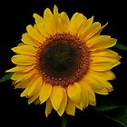 HOT SUNFLOWER by RoseMarie747