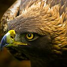 Golden Eagle by Sue Ratcliffe