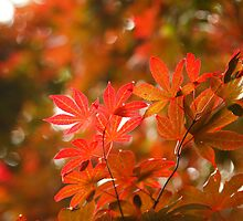 Acer leaves by Gaspar Avila