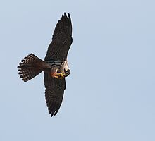 hobby (Falco subbuteo) by Grandalf