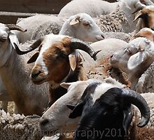 Sheepherding by simonecoleman